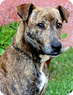 Dutch Shepherd/Labrador Retriever Mix Dog for adoption in Poway, California - Sandy