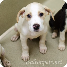Pointer Mix Puppy for adoption in Monroe, Georgia - Lance