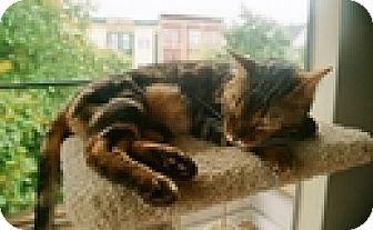 Bengal Cat for adoption in Vancouver, British Columbia - Raja