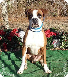Boxer Dog for adoption in Marietta, Georgia - BUSTER (R)