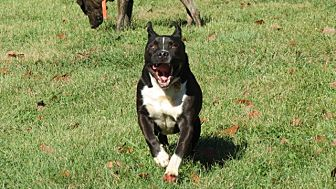 Pit Bull Terrier/Bulldog Mix Dog for adoption in Pleasant Plain, Ohio - Smiling Ricky