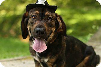 Basset Hound/German Shepherd Dog Mix Dog for adoption in Cincinnati, Ohio - Sargeant