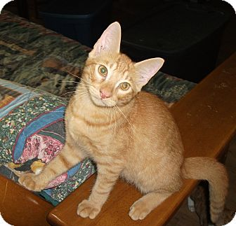 Domestic Shorthair Cat for adoption in Plano, Texas - BAXTER - PURRSONALITY PLUS!!!