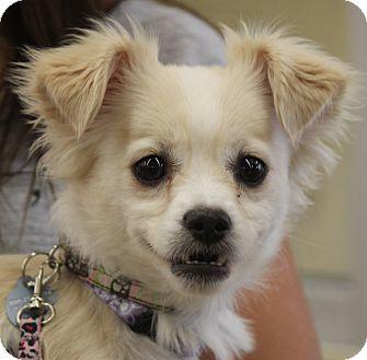 Pomeranian/Chihuahua Mix Dog for adoption in Layton, Utah - Ivy