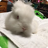 Adopt A Pet :: Buster Bunny - Rockville, MD