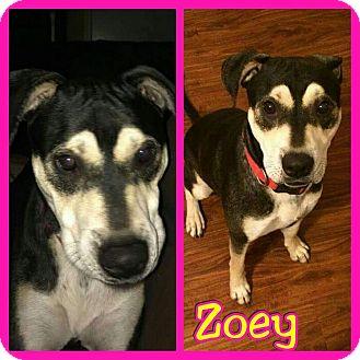 Coonhound (Unknown Type) Mix Dog for adoption in Mesa, Arizona - Zoey