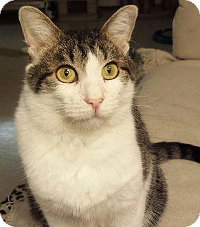 American Shorthair Cat for adoption in Phoenix, Arizona - Johnny