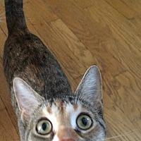 Domestic Shorthair Cat for adoption in Davison, Michigan - Tabitha