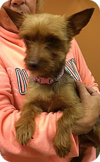 Yorkie, Yorkshire Terrier Dog for adoption in Fairview Heights, Illinois - Jenga