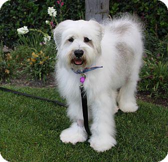 Old English Sheepdog Mix Dog for adoption in Newport Beach, California - ARDEN