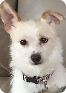 Parson Russell Terrier/Cairn Terrier Mix Dog for adoption in Los Angeles, California - Luca