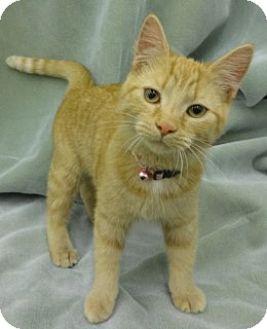 Domestic Shorthair Kitten for adoption in Olive Branch, Mississippi - T.t.