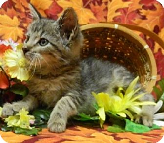 Domestic Shorthair Kitten for adoption in Columbus, Nebraska - Benji