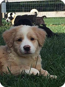 Border Collie/Australian Shepherd Mix Puppy for adoption in Urbana, Ohio - Phil