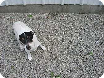 Jack Russell Terrier/Rat Terrier Mix Dog for adoption in Port Clinton, Ohio - HARVEY