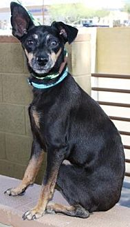 Miniature Pinscher Mix Dog for adoption in Gilbert, Arizona - Alli