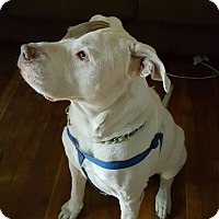 American Bulldog Mix Dog for adoption in Beverly Hills, California - Mack