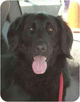 Flat-Coated Retriever Dog for adoption in Rolling Hills Estates, California - Simon