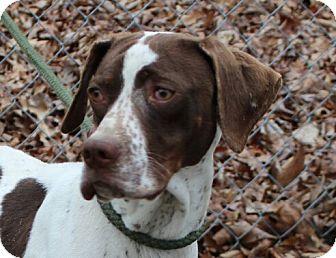 Pointer Mix Dog for adoption in Allentown, Pennsylvania - Miss Cooper