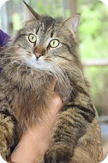 Maine Coon Cat for adoption in Columbia, Tennessee - Scar*Pending Adoption