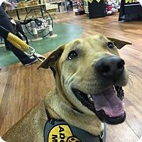 Adopt A Pet :: Bear - Palm City, FL