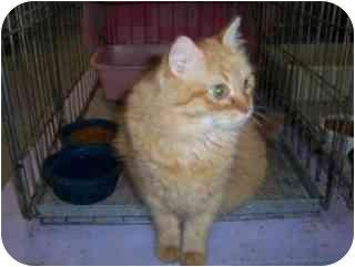 Domestic Shorthair Cat for adoption in Pickering, Ontario - Marigold
