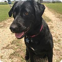 Adopt A Pet :: Mamma Diamond - Austin, TX