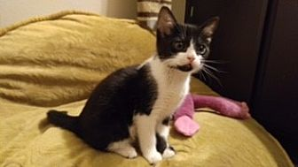 Domestic Shorthair Kitten for adoption in Agoura Hills, California - Claire