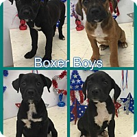 Adopt A Pet :: Boxer Boys - Corinth, NY