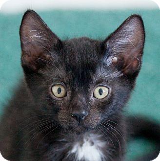 Domestic Shorthair Kitten for adoption in Toronto, Ontario - Spooky