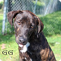 Mountain Cur Mix Dog for adoption in Texarkana, Arkansas - GG