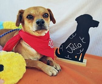 Beagle Mix Dog for adoption in Apple Valley, California - Julio