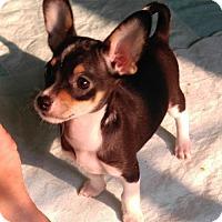 Adopt A Pet :: Levi,   A Taco terrier Puppy - Arlington, WA