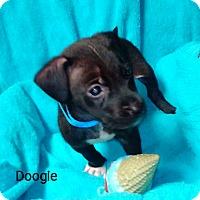 Adopt A Pet :: Doogie - Burlington, VT