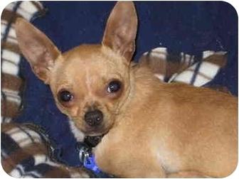 Chihuahua Dog for adoption in Vista, California - Sergio