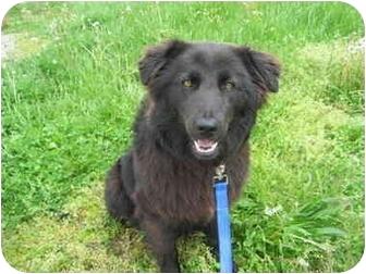 Belgian Shepherd Mix Dog for adoption in Logan, Ohio - Baby Bear