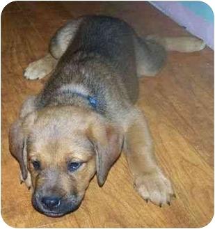 St. Bernard/Rottweiler Mix Puppy for adoption in Fenton, Missouri - SOPHIE