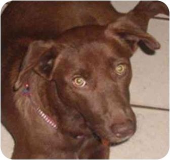Australian Shepherd/Labrador Retriever Mix Dog for adoption in Orlando, Florida - Anna