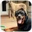 Photo 4 - Rottweiler Dog for adoption in Darlington, Maryland - Fiona