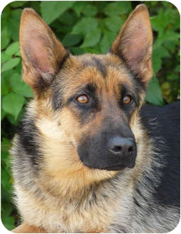 German Shepherd Dog Dog for adoption in Los Angeles, California - Dixie von Deimler