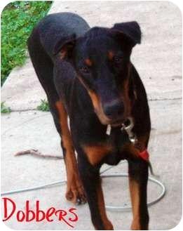 Doberman Pinscher Mix Dog for adoption in Watertown, South Dakota - Dobbers