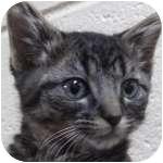 Domestic Shorthair Kitten for adoption in Wheaton, Illinois - Simon