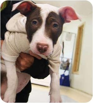 American Pit Bull Terrier/Hound (Unknown Type) Mix Puppy for adoption in Grafton, Ohio - Sammy!