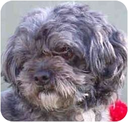Poodle (Toy or Tea Cup) Dog for adoption in north hollywood, California - Roscoe