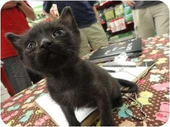 Domestic Shorthair Kitten for adoption in Phoenix, Arizona - Kenny