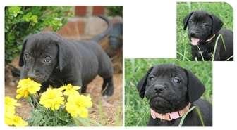Labrador Retriever Mix Puppy for adoption in Haughton, Louisiana - Happy Tails (Rose)