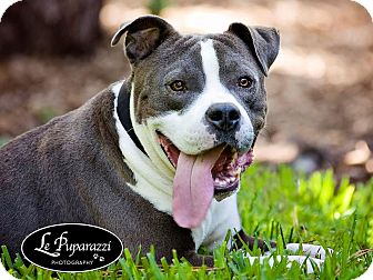 American Staffordshire Terrier/American Pit Bull Terrier Mix Dog for adoption in Orlando, Florida - Stanford