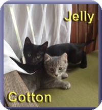 Domestic Shorthair Kitten for adoption in Aldie, Virginia - Jelly