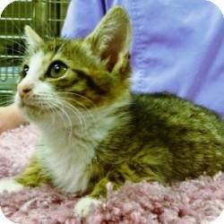 Domestic Shorthair Kitten for adoption in North Wilkesboro, North Carolina - Jorja