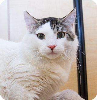 Domestic Mediumhair Cat for adoption in Irvine, California - Naples